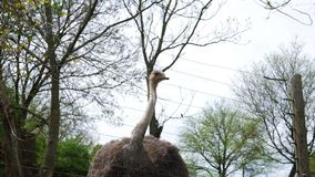 Uma avestruz atrás de uma cerca segura olha a câmera vídeos de arquivo
