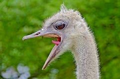 Uma avestruz de grito Imagem de Stock Royalty Free