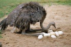 Uma avestruz e seus ovos em seu ninho Imagens de Stock Royalty Free