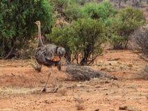 Uma avestruz na reserva nacional de Samburu, Kenya fotografia de stock