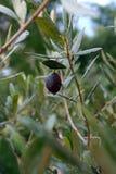 Uma azeitona preta da missão em um ramo de oliveira fotos de stock