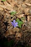 Uma azul, flor selvagem na floresta Fotografia de Stock Royalty Free