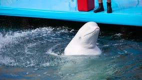 Uma baleia branca bonita, treinada emerge da água em uma associação exterior e em cuspes ao espirrar a água filme