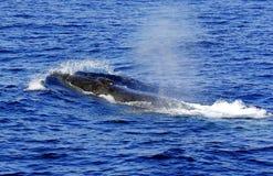 Uma baleia de aleta aplainando (physalus do Balaenoptera) Foto de Stock Royalty Free
