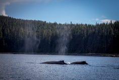 Uma baleia de corcunda da mãe e da vitela Imagens de Stock