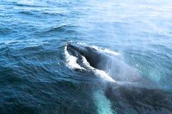 Uma baleia de humpback Fotos de Stock Royalty Free