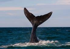 Uma baleia direita no Patagonia imagens de stock