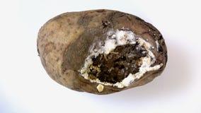 Uma batata mofado velha Solanum Tuberosum com larvas para dentro vídeos de arquivo