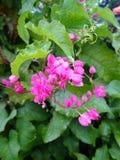 Uma beleza de flores cor-de-rosa Fotos de Stock Royalty Free