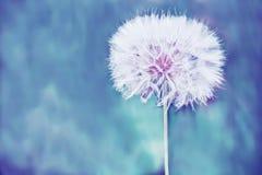 Uma bola branca macia enorme da flor do dente-de-leão Imagens de Stock Royalty Free