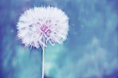 Uma bola branca macia enorme da flor do dente-de-leão Imagem de Stock