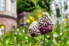 Uma bola de uma flor fotografia de stock