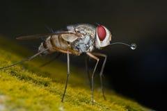 Uma bolha de sopro da mosca do tachinidae imagem de stock