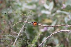 Uma borboleta Foto de Stock
