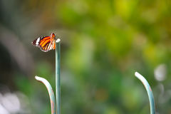 Uma borboleta alaranjada Imagem de Stock Royalty Free