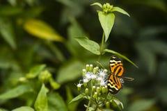 Uma borboleta alaranjada e umas flores brancas Fotografia de Stock Royalty Free