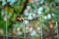 Uma borboleta alaranjada na coluna verde Fotografia de Stock