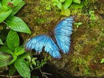 Uma borboleta azul bonita do morpho senta-se em uma folha imagem de stock royalty free