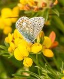 Uma borboleta azul comum masculina com as asas fechados Foto de Stock Royalty Free