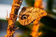 Uma borboleta bonita Fotografia de Stock Royalty Free