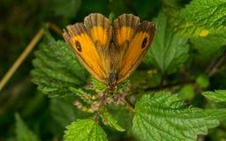 Uma borboleta bonita do porteiro em uma folha Fotos de Stock Royalty Free
