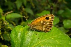 Uma borboleta bonita do porteiro em uma folha Imagem de Stock Royalty Free