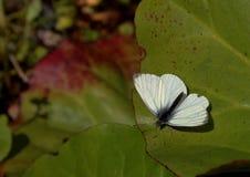 Uma borboleta branca que encontra-se na folha verde Foto de Stock Royalty Free