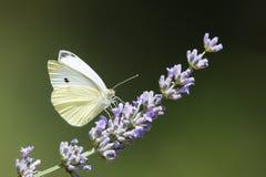 Uma borboleta branca sobre Imagens de Stock Royalty Free