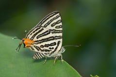 Uma borboleta, clube Silverline Fotografia de Stock