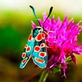 Uma borboleta com asas azuis senta-se em um cardo foto de stock