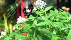 Uma borboleta de Ambrax Swallowtail em um jardim filme