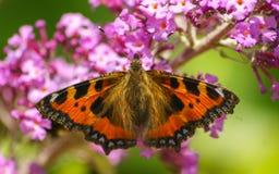 Uma borboleta de concha de tartaruga bonita que alimenta em uma flor Imagem de Stock