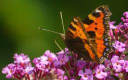 Uma borboleta de concha de tartaruga bonita que alimenta em uma flor Fotos de Stock Royalty Free