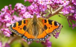 Uma borboleta de concha de tartaruga bonita que alimenta em uma flor Imagens de Stock