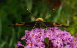 Uma borboleta de concha de tartaruga bonita que alimenta em uma flor Imagem de Stock Royalty Free