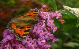 Uma borboleta de concha de tartaruga bonita que alimenta em uma flor Fotografia de Stock