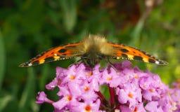 Uma borboleta de concha de tartaruga bonita que alimenta em uma flor Fotografia de Stock Royalty Free