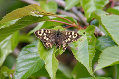 Uma borboleta de madeira salpicada com asas danificadas Fotografia de Stock