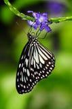 Uma borboleta de Monach que procura o néctar Imagem de Stock