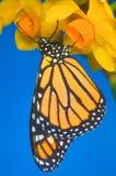 Uma borboleta de monarca Fotos de Stock