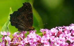 Uma borboleta de pavão bonita que alimenta em uma flor Imagem de Stock
