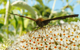 Uma borboleta de pavão bonita que alimenta em uma flor Imagens de Stock Royalty Free
