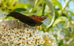 Uma borboleta de pavão bonita que alimenta em uma flor Fotos de Stock Royalty Free