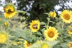 Uma borboleta de Swallowtail em um girassol imagem de stock royalty free