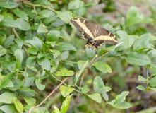 Uma borboleta de Swallowtail em voo foto de stock