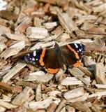 Uma borboleta do almirante vermelho fotografia de stock