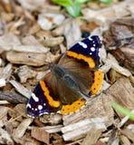 Uma borboleta do almirante vermelho foto de stock royalty free