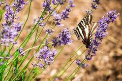 Uma borboleta e flores da alfazema Fotos de Stock Royalty Free