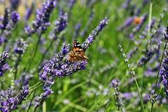 Uma borboleta e uma alfazema imagem de stock