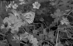 Uma borboleta em Longford ireland Imagem de Stock Royalty Free